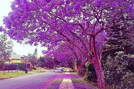 15 pictures of jacaranda trees that will make you weak at the knees