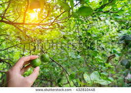 lime tree stock images royalty free images vectors