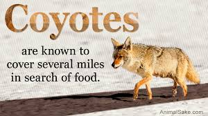 getting rid of unwanted coyotes