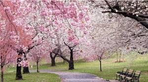 cherry blossom tree pics h o p e tbi