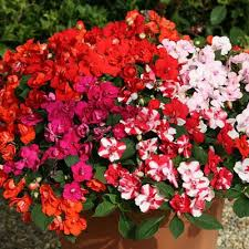 impatiens flowers impatiens athena mix f1 harris seeds