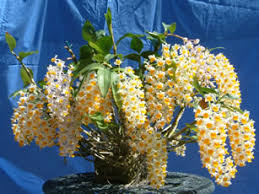 dendrobium orchids all about dendrobium orchids and how to grow them