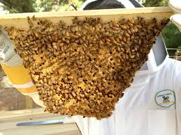 trouble in the land of milk and honey one of our bee hives is in