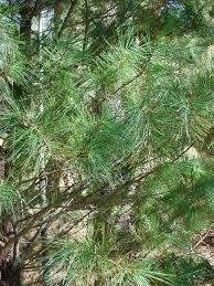 vascular plants of the gila wilderness vascular plants of the gila wilderness pinus strobiformis