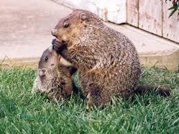 groundhog woodchuck prevention humane removal prevent nesting