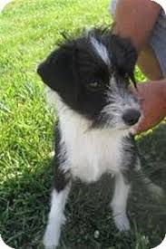 doodle for adoption indiana doodle for adoption in san antonio tx adn 408032 on