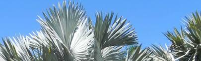 fort lauderdale palm trees for sale palmco