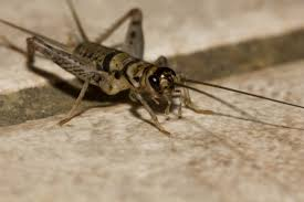 lofty idea how to get rid of crickets in basement the on a budget