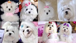 korean style groom u2013 maltese obsession