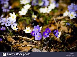 flower places liverworts flower stock photos liverworts flower stock images