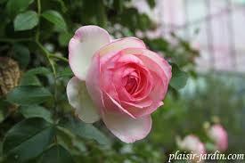 Achat Rosier Grimpant by Le Rosier Grimpant Pierre De Ronsard Eden Rose Plaisir Jardin Com