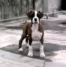 boxer dog price boxer price in india boxer puppy for sale in hyderabad india