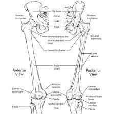 Diagram Of Knee Anatomy Femur Radiology Reference Article Radiopaedia Org