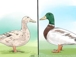 Anatomy Difference Between Male And Female How To Tell The Difference Between Male And Female Ducks 9 Steps