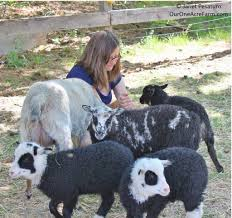 Backyard Cattle Raising Raising Shetland Sheep Guide To Starting A Flock