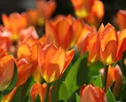 flower blooming tulips by bloom time
