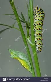 black swallowtail chrysalis stock photos u0026 black swallowtail