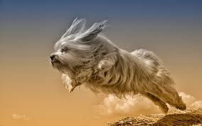 Wallpaper Dogs Havanese Bichon Dogs Jump Animals