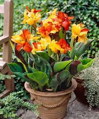 Tropical Potted Plants Outdoor - best 25 canna lily ideas on pinterest cana lily autumn garden
