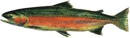 freshwater fish file lake washington ship canal fish ladder pamphlet male