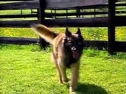 belgian shepherd herding belgian herding breeds overview akc dog breed series youtube