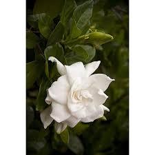 Gardenia Delivery Shop Monrovia 1 6 Gallon White Everblooming Gardenia Flowering