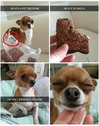 High Dog Meme - dog gets high after consuming drugs rebrn com