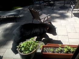bears sightings increasingly common in west hartford we ha