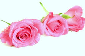 Meaning Of Pink Roses Flowers - 49 top selection of pink roses images