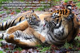 tiger cub meaning tiger cub succumbs to pneumonia 614now tiger the