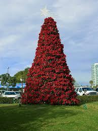 poinsettia tree file poinsettia tree jpg wikimedia commons