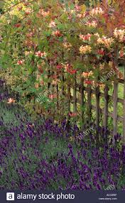 Fragrant Garden Plants Trellis Lonicera Periclymenum U0027serotina U0027 Lavandula U0027imperial Gem