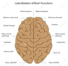 Anatomy Of The Brain And Functions 1 014 Brain Tissue Stock Illustrations Cliparts And Royalty Free