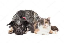 cat with australian shepherd australian shepherd dog and calico cat u2014 stock photo