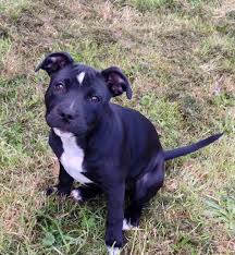 2 month old american pitbull terrier 6 month old female staffordshire bull terrier northwich