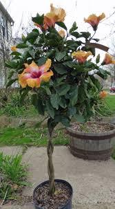 best 25 hibiscus garden ideas on pinterest hibiscus plant