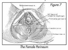 Perineum Anatomy Female Anatomy Of The Female Pelvis