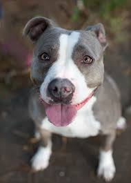 american pit bull terrier lab mix shelter dogs of portland