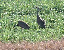 sandhill crane iowa natural heritage foundation