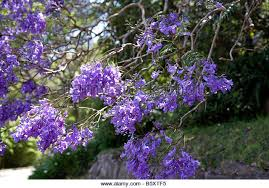 Tree With Purple Flowers Purple Jacaranda Tree In Blossom Stock Photos U0026 Purple Jacaranda