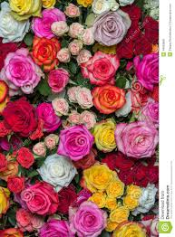 multicolored roses multicolored roses stock photo image 44855856