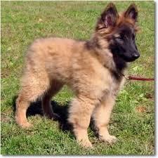 belgian sheepdog short hair belgian tervuren purebred puppy