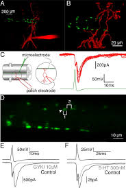 presynaptic g protein coupled receptors regulate synaptic cleft