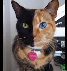 venus the bipolar cat true story has two different colored eyes