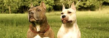 imagenes de terrier ingles bull terrier inglés archives escaparatedemascotas
