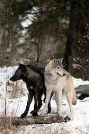 615 best wolves foxes images on animals foxes