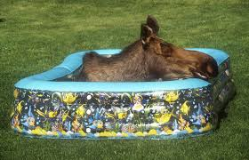 Anchorage Swimming Pools Moose The National Wildlife Federation