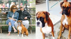 boxer dog 2015 jennifer lopez u0027s dogs 2015 youtube