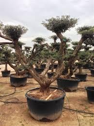 Pom Trees European Pom Pom 500 Litres
