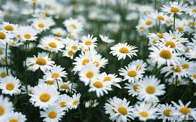 feature flower friday daisies